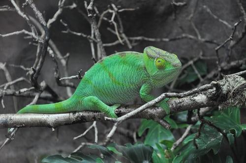 Popular Chameleon for Sale Petco