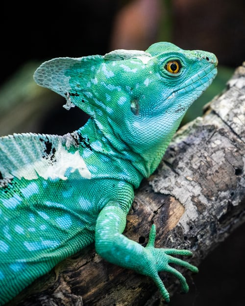 Popular Chameleon for Sale Petco