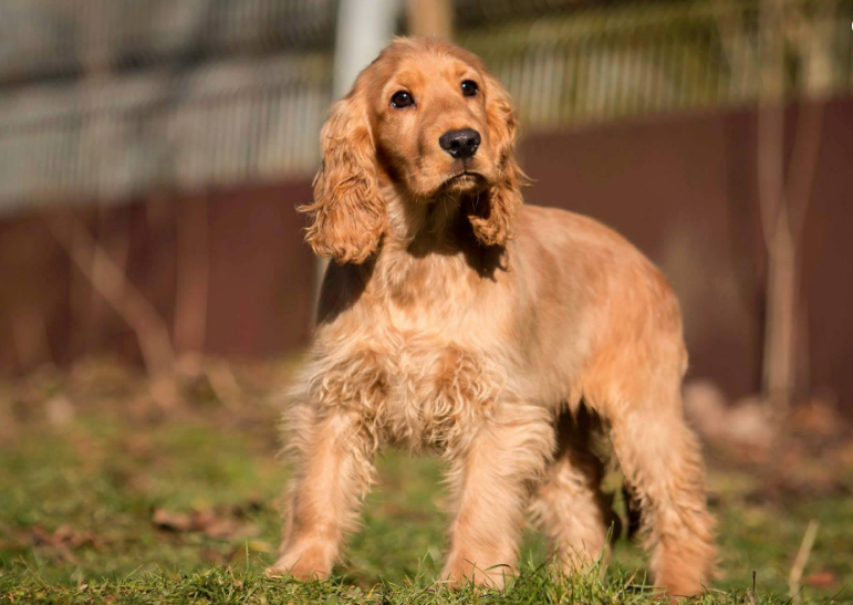 Cocker Spaniel Hair Cut Ideas & Grooming