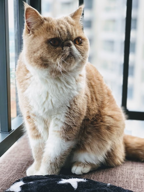 Garfield Cat Breed Facts, Price & Info!