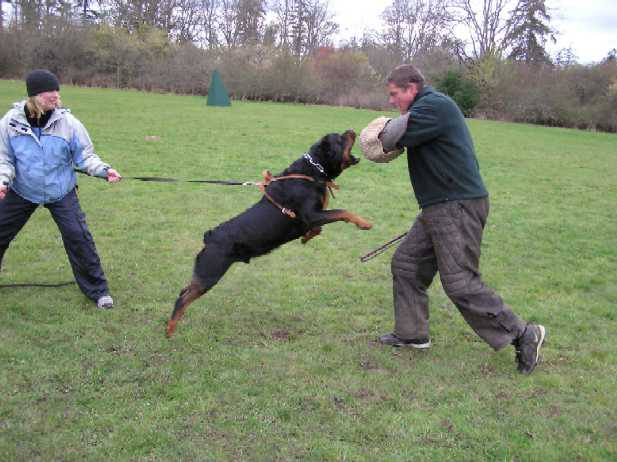 How we can train Rottweiler as Family Protection Guard dog?