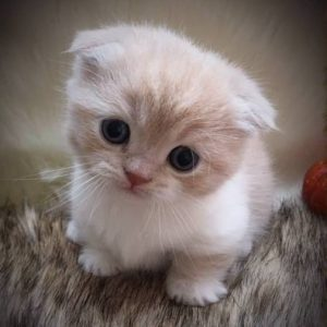 Scottish Fold Munchkin Is So Famous, But Why? Cat & Kittens