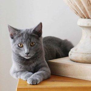 Chartreux cat Price, Russian Blue vs. Chartreux Explain