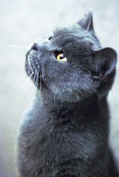 Chartreux cat Price, Russian Blue vs. Chartreux Explain