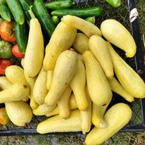Can Dogs Eat Zucchini – A Complete Guide about Raw Squash