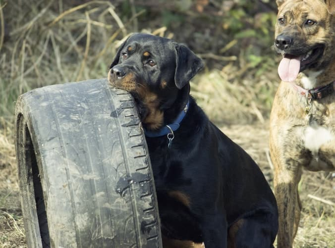 Rott Puppy Names Male and Female Ideas