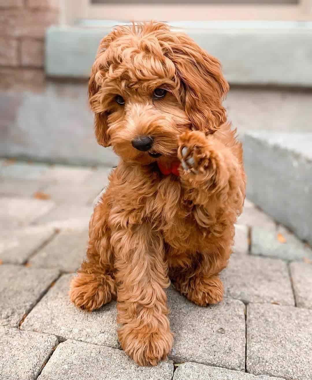 Irish Doodle Mini Dog Puppies Price & Info