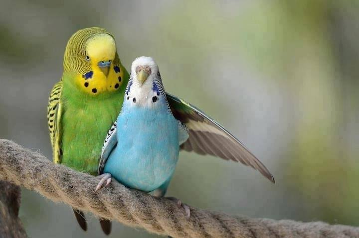 Fluffy English Parakeet Vs American Budgie Facts & Price