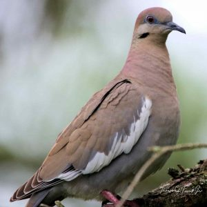 Mourning Dove Call, Nest, Facts, Babies Care & Sounds Info