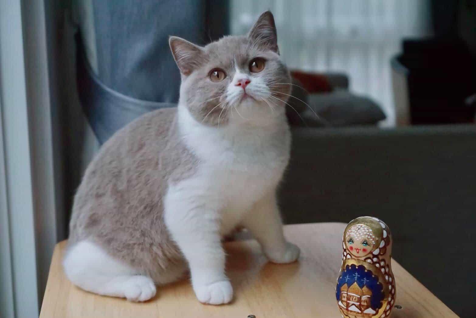 British Shorthair Cat & Kittens Price List